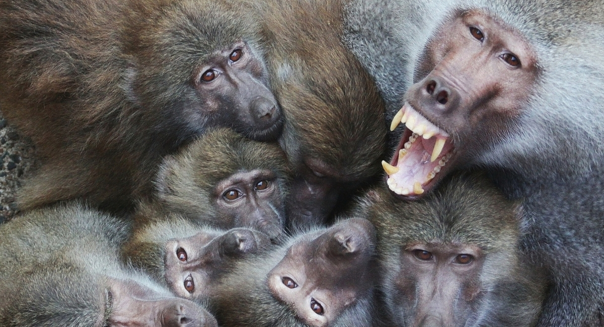 webMantelpavianharemsgruppe im Neunkircher Zoo_Foto_Rudolf Klees