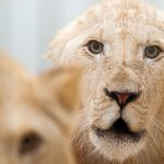 Der König der Tiere zu Gast