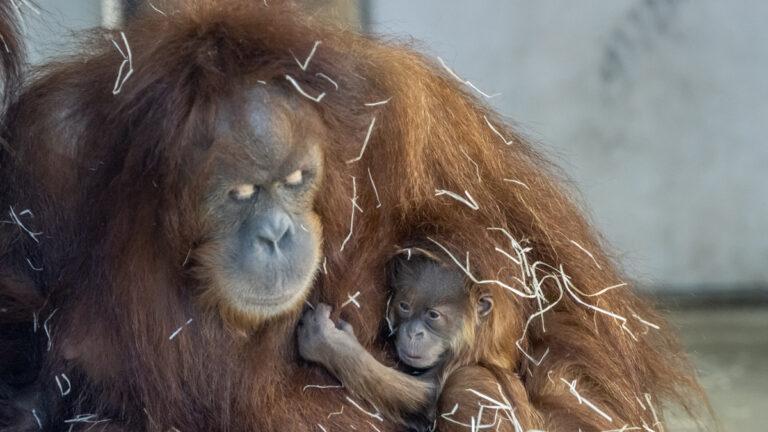 Nachwuchs bei den Waldmenschen im Neunkircher Zoo